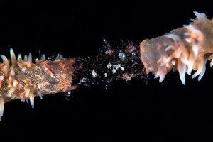 ガラスハゼの仲間の産卵床