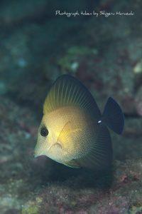 ゴマハギの若魚