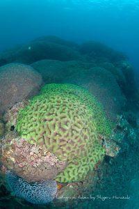 衰えつつあるハナガタサンゴ類の群落