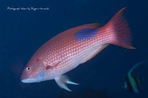 キツネベラの成魚