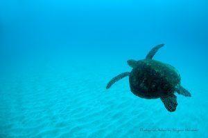 飛び去るアオウミガメ