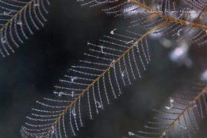 ワレカラモドキの幼体