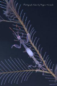 卵を抱えるワレカラモドキのメス