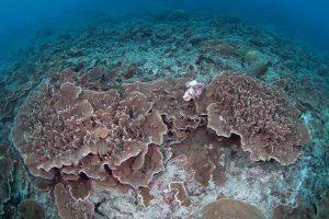 20日前に撮影した同じウスサザナミサンゴ群体