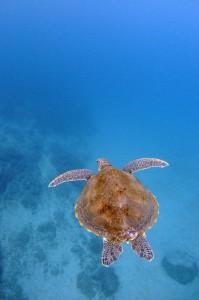 屋久島のアオウミガメ