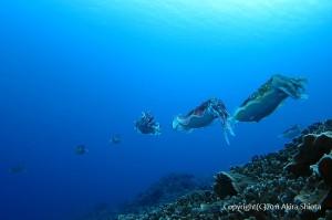 サンゴの上にたまるコブシメたち(写真提供:塩田さん)