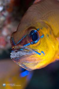 口内保育中のアオスジテンジクダイのオス