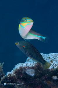 放卵放精前のアカオビベラ