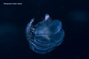 クラゲ類に乗って漂流する甲殻類