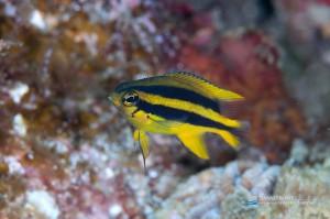 今の時期はこうした黄色い幼魚は超少ない