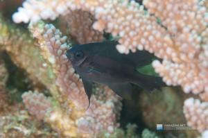 体に幼魚時のストライプ模様が残る。 体長は5cmくらい