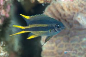 幼魚体色から黒味を帯び始める段階 4cmくらい