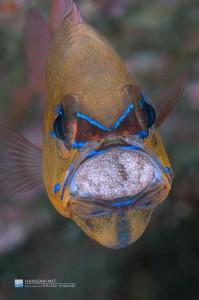 口内保育中の卵にも目玉が見え始めた。。。