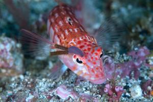 サンゴトラギスの目玉に寄生するメダマイカリムシ
