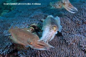 コウイカのメスに求愛するコブシメのオス