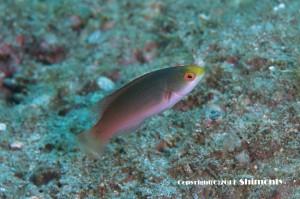 トモシビイトヒキベラの若魚