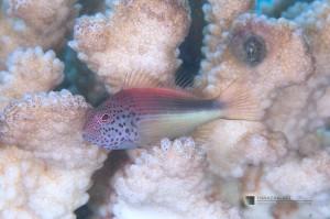 白化したハナヤサイサンゴに棲むホシゴンベ