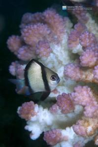 根元から白化し始めているハナヤサイサンゴの仲間