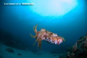 サバの幼魚たちを捕食するコブシメ