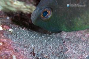 2. ルリホシスズメダイ、孵化間近の卵