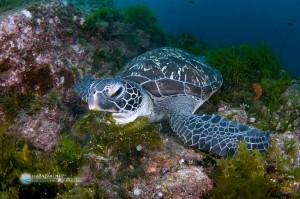 海藻を食べるアオウミガメ