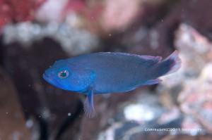 青いアザハタの幼魚???