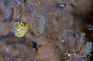 ノコギリハギの幼魚が目立つ