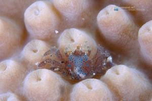 スリバチサンゴの仲間に着く謎のコシオリエビに近い仲間