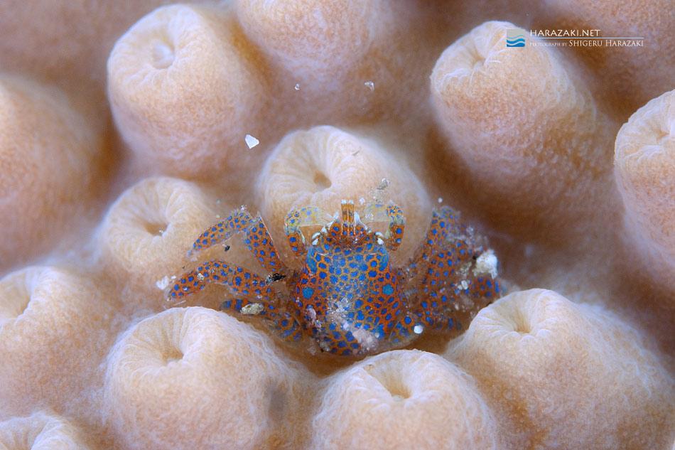 スリバチサンゴの仲間に着く謎のコシオリエビの仲間?