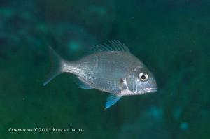 マダイの若魚