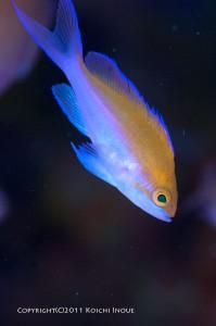 ゼロ戦に着くフタイロの幼魚