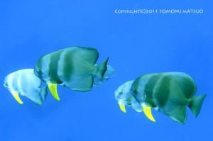 青々した海にツバメウオはよく映える