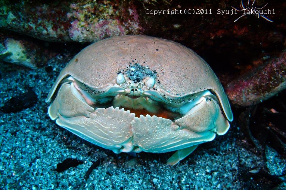 マルソデカラッパの抱卵