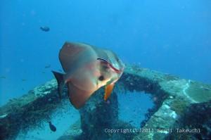 ホンソメのクリーニングを受けるツバメウオ