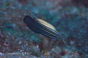 ミヤケベラの若魚