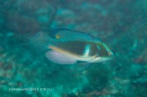 トモシビイトヒキベラの成魚オスの求愛