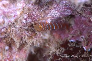 シマイソハゼの幼魚