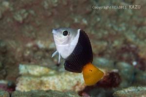 タレクチベラは若魚サイズまでしか見られない