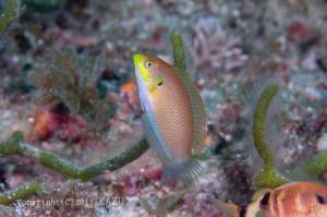 ウスバノドグロベラの若魚