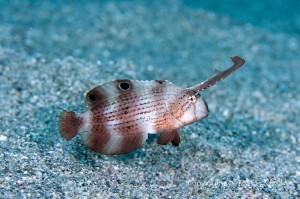 ホシテンスの幼魚
