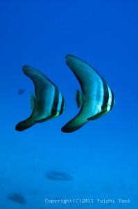 ツバメウオの若魚