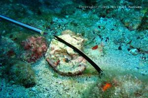 極小ハナヒゲウツボの幼魚