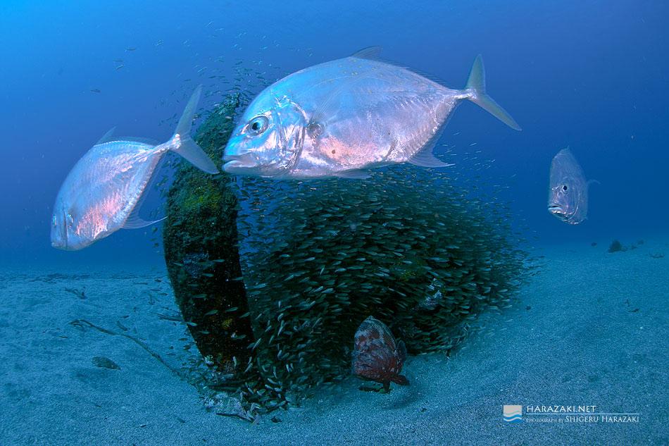 ゼロ戦を時計回りに周る捕食魚たち