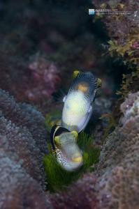 ノコギリハギの産卵3