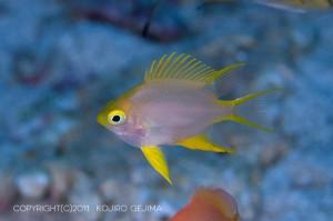 ヤマブキスズメダイの若魚