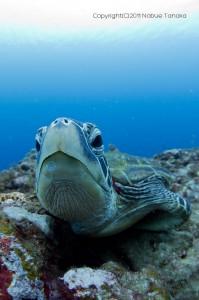 アオウミガメ正面顔