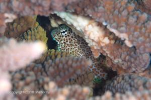 セダカギンポの若魚