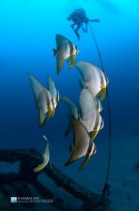 ツバメウオの若魚が集う漁礁