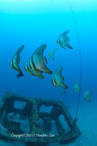 漁礁に群れるツバメウオの若魚