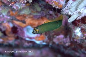 屋久島の浅場でよく見られるオオメタナバタメギス
